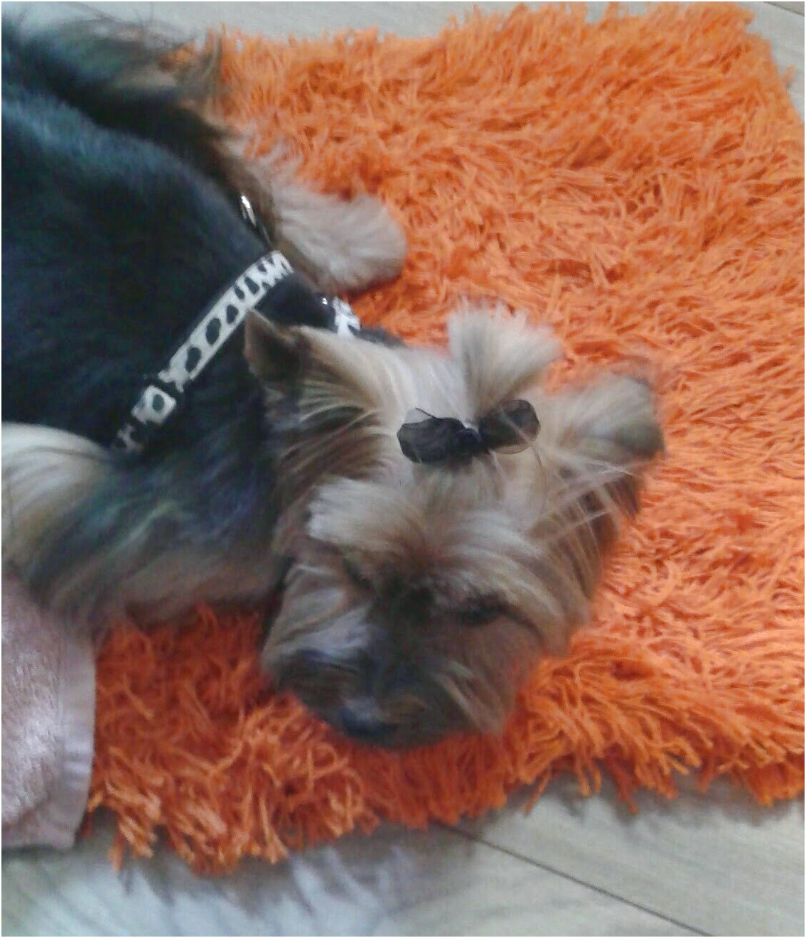 yorkshire terrier puppy advice