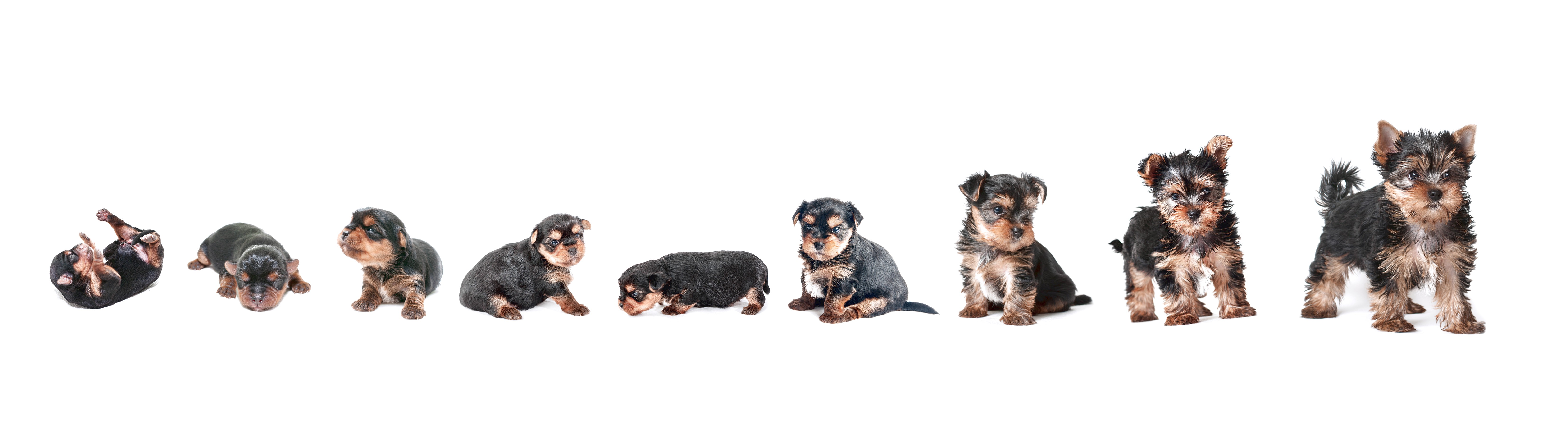 yorkshire terrier puppy age