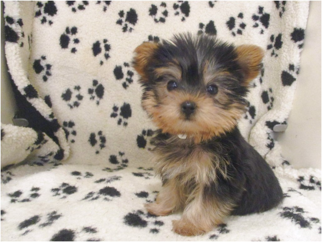 yorkshire terrier puppy breeders in nj