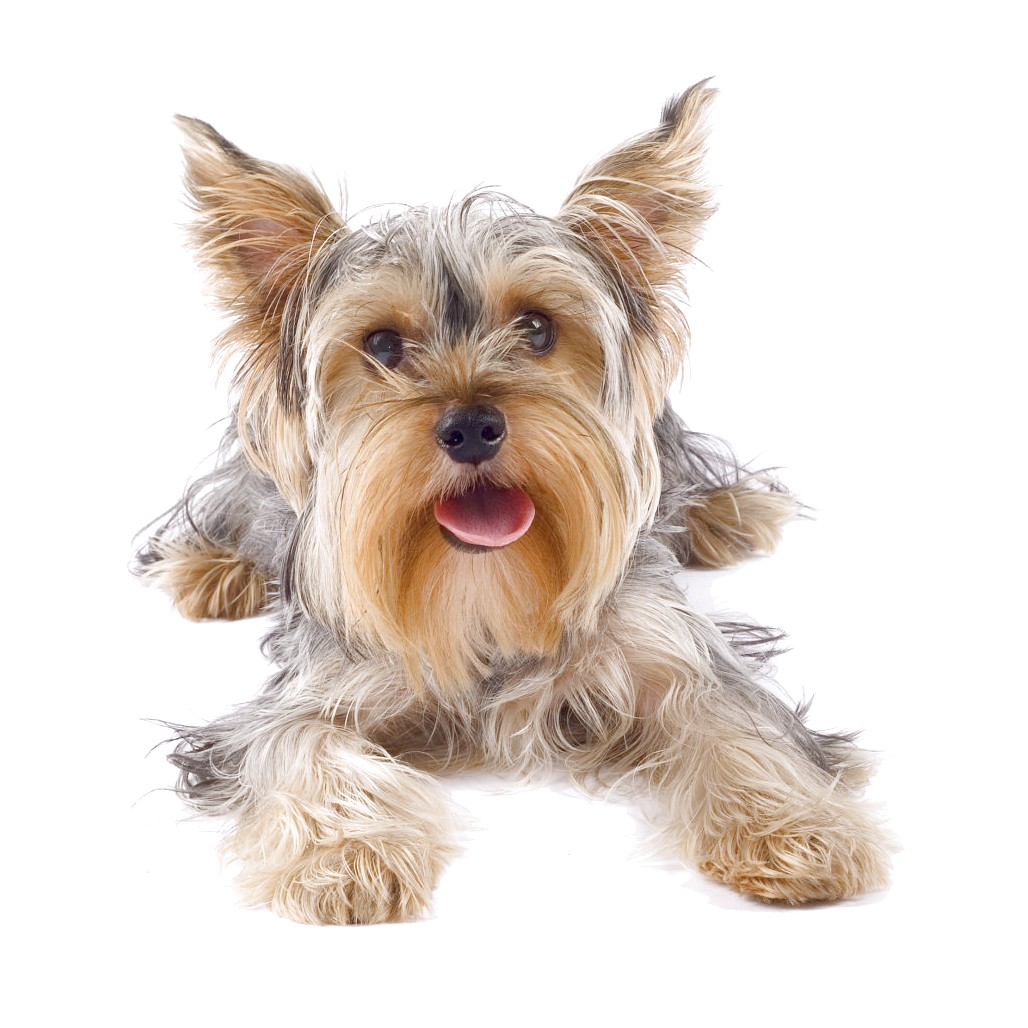 yorkshire terrier puppy buy