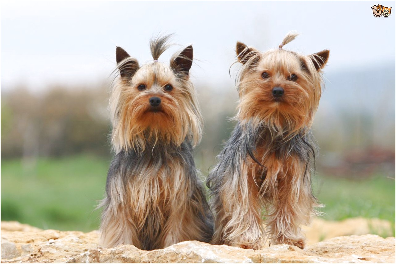 yorkshire terrier puppy characteristics