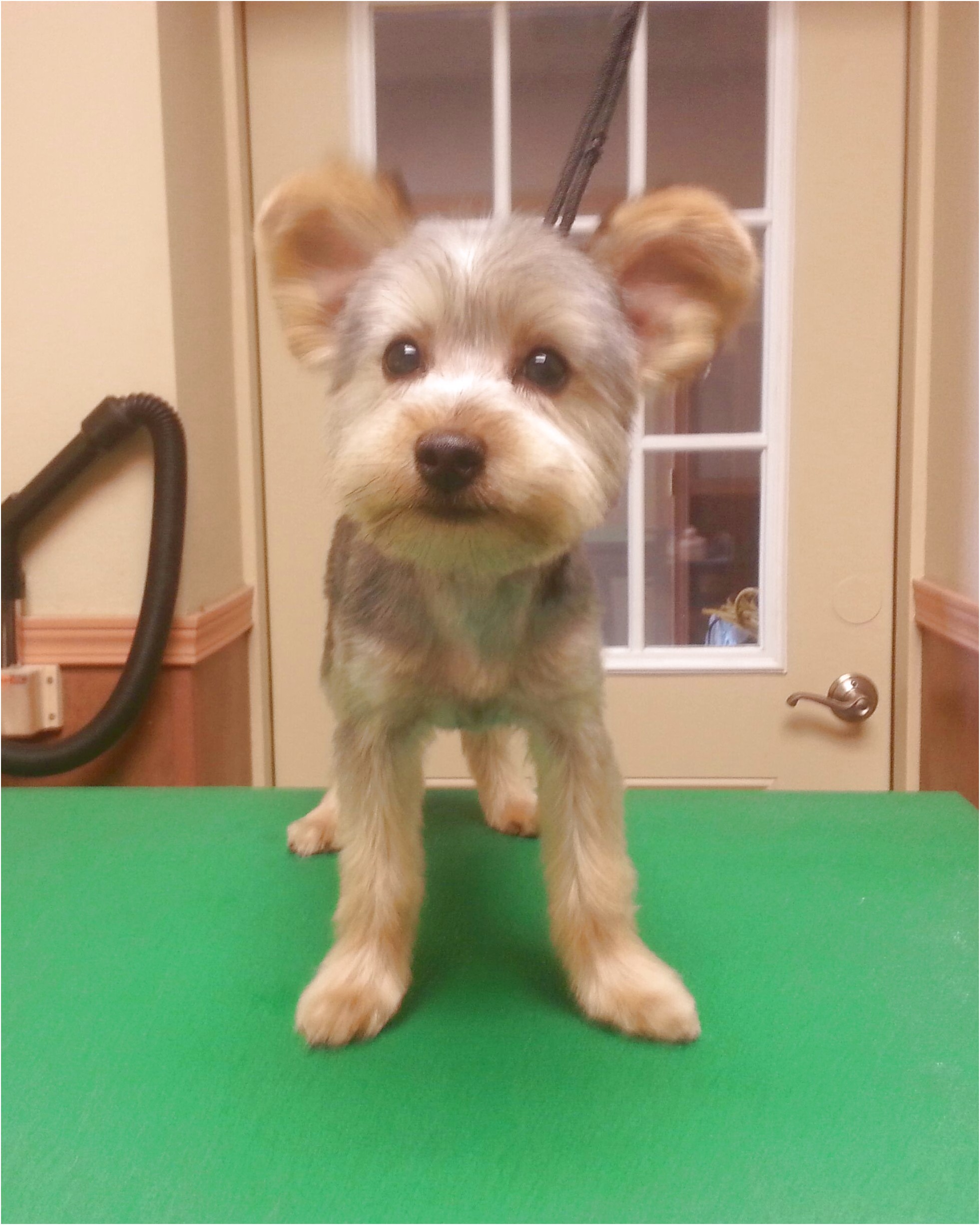 yorkshire terrier puppy cut pictures