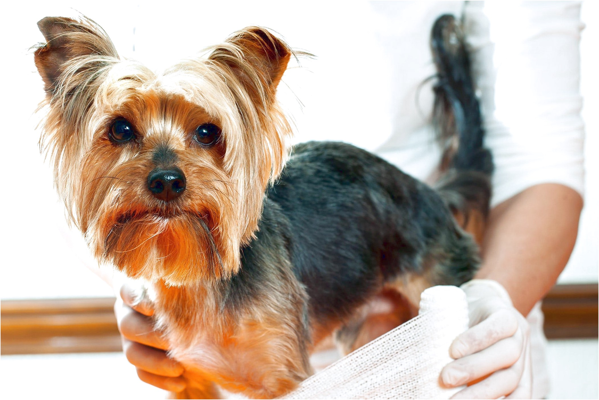 yorkshire terrier puppy development stages