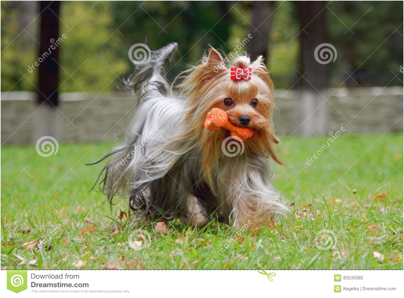 yorkshire terrier puppy development