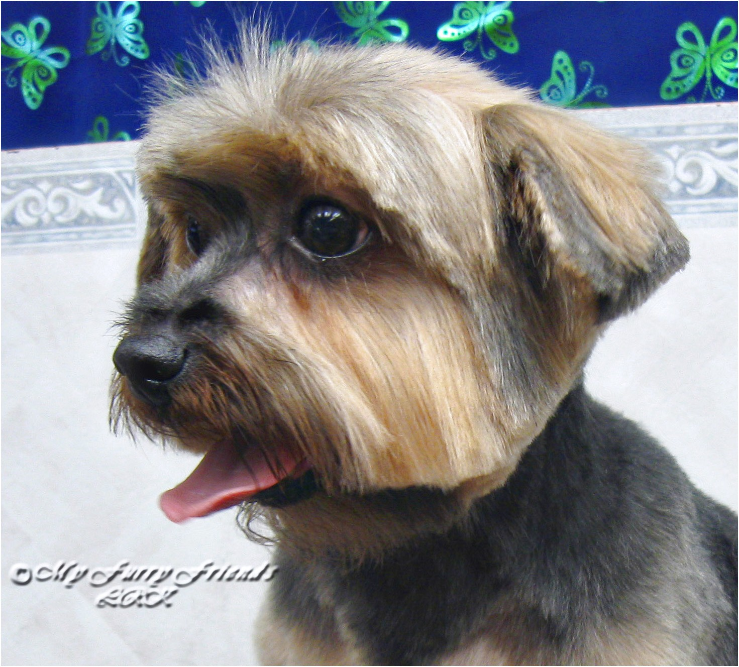 yorkshire terrier puppy ears down