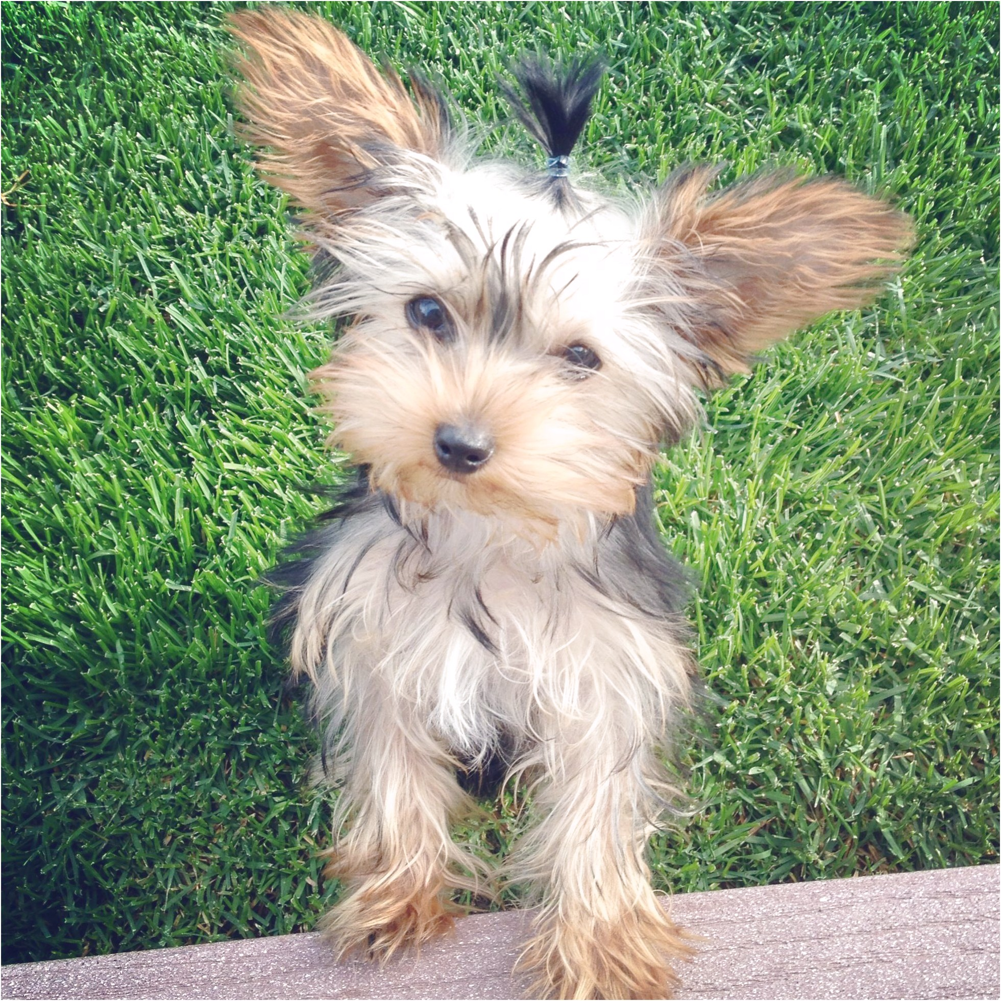 yorkshire terrier puppy ears