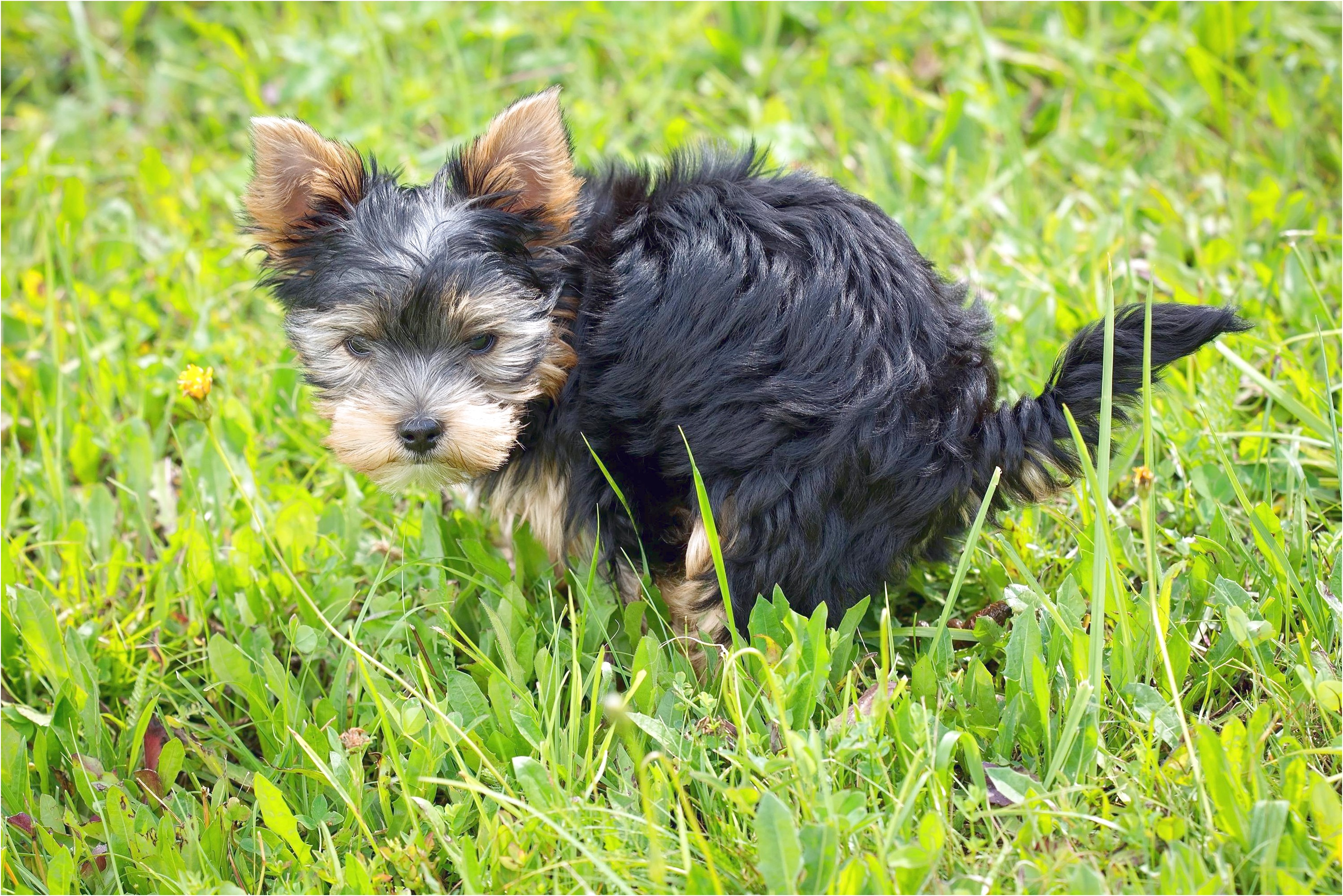 yorkshire terrier puppy eating own poop