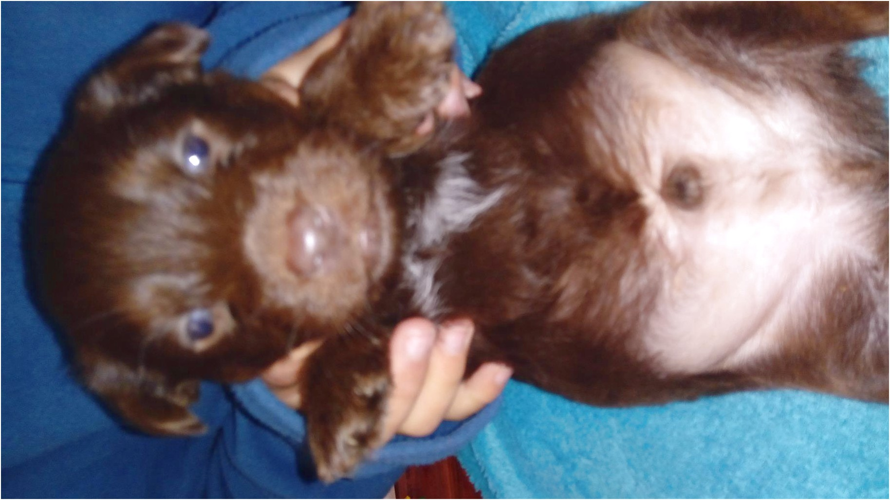 yorkshire terrier puppy for sale near me