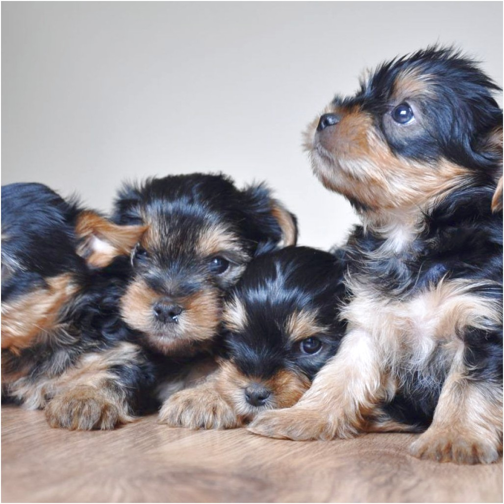 yorkshire terrier puppy for sale nz