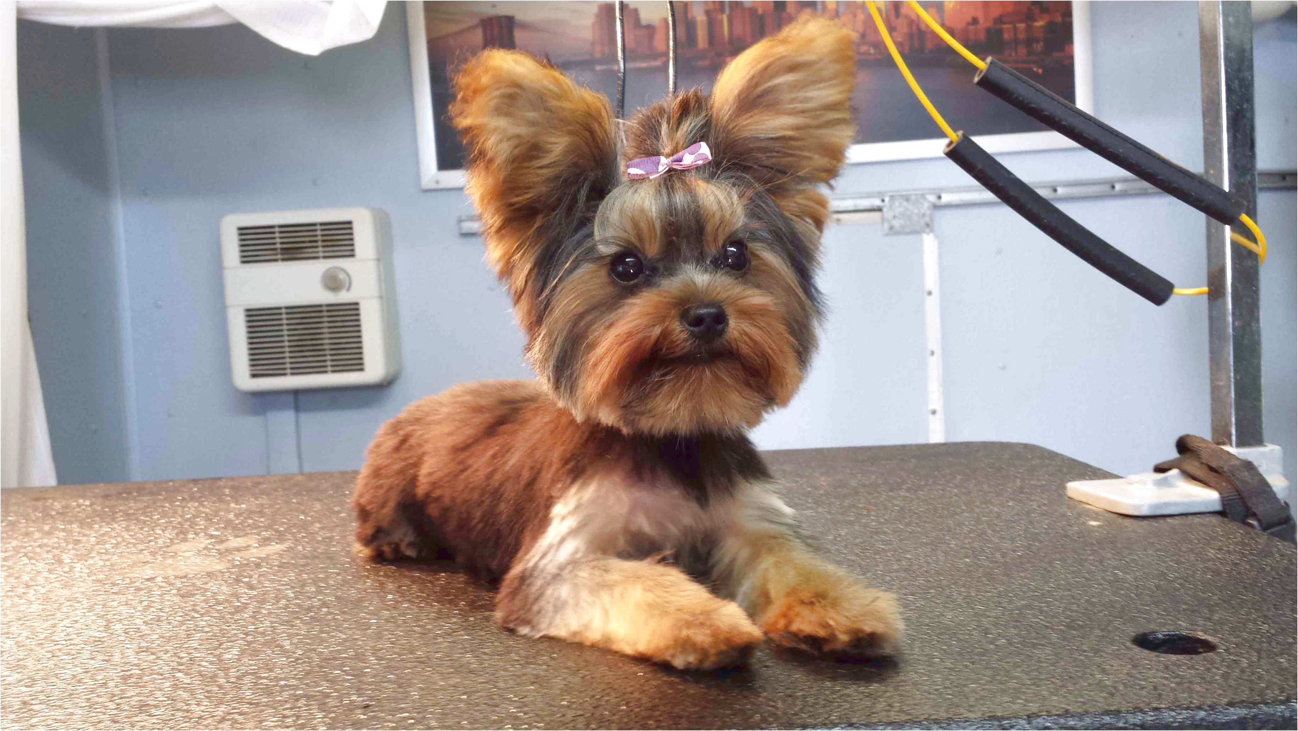 yorkshire terrier puppy haircut