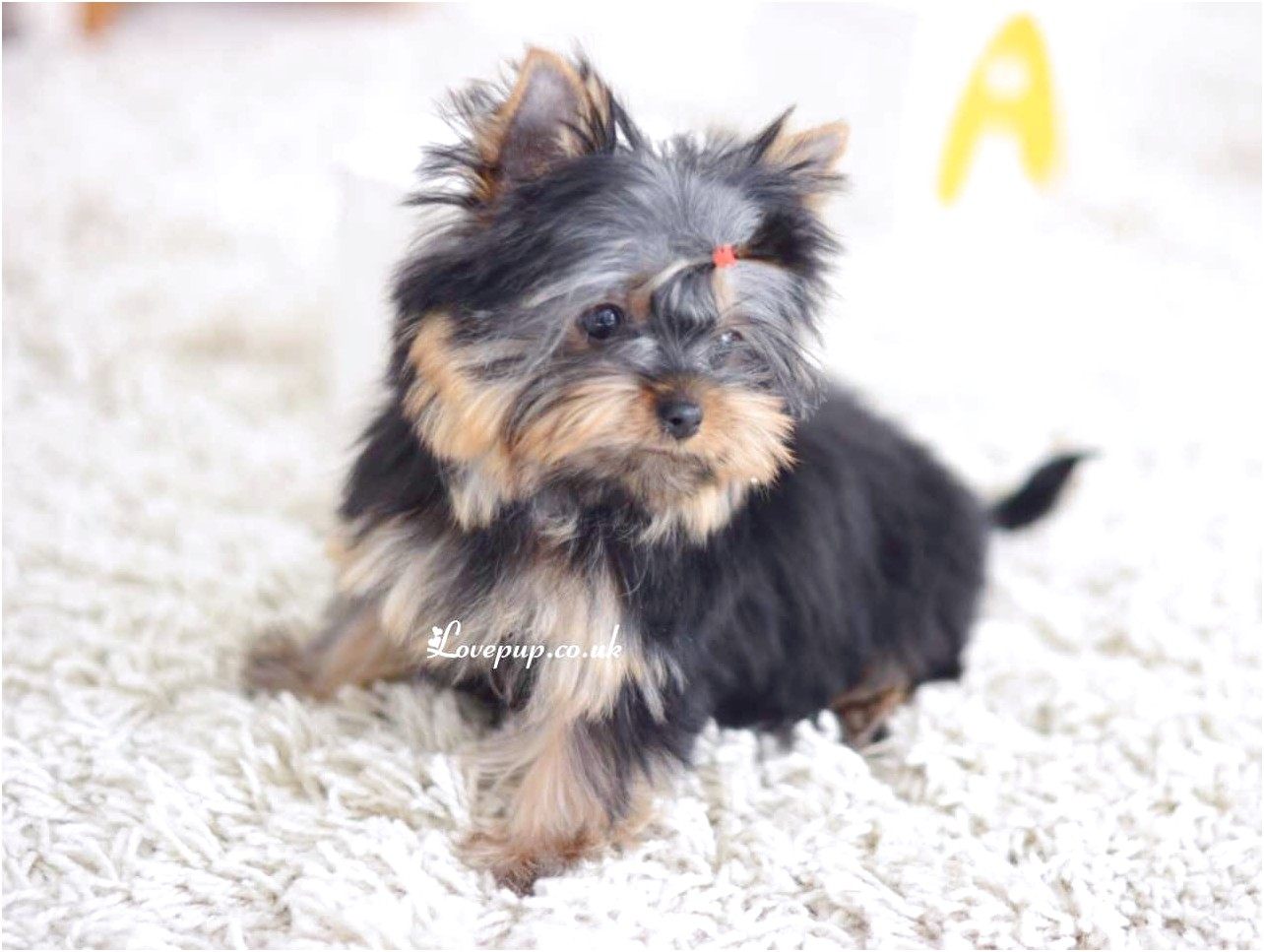 yorkshire terrier puppy images