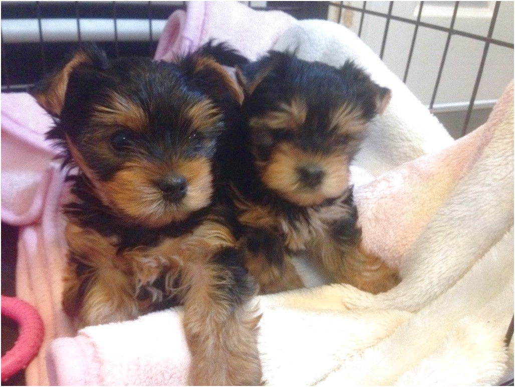 yorkshire terrier puppy in cup