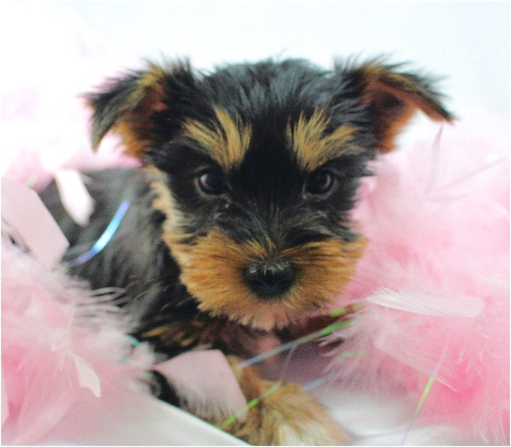 yorkshire terrier puppy iowa