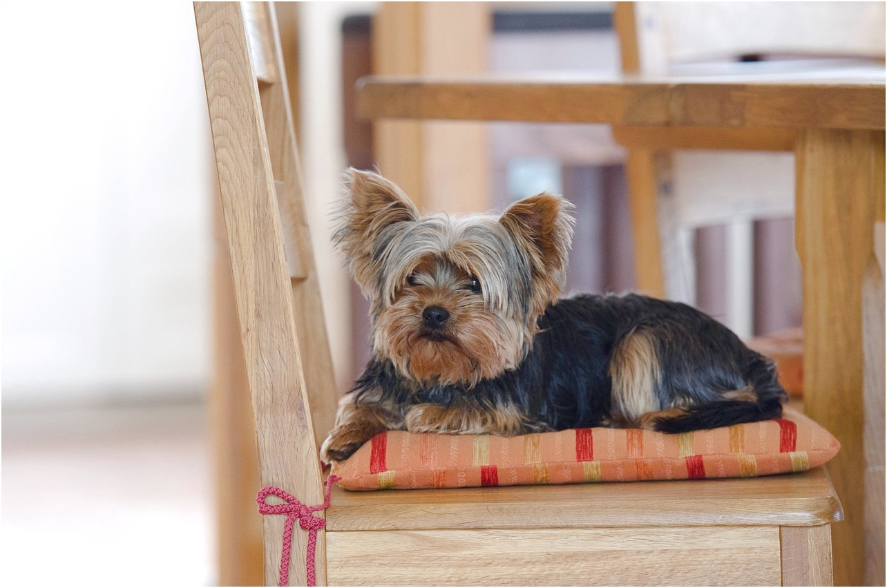 yorkshire terrier puppy lethargic