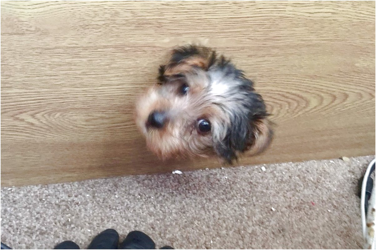 yorkshire terrier puppy liverpool