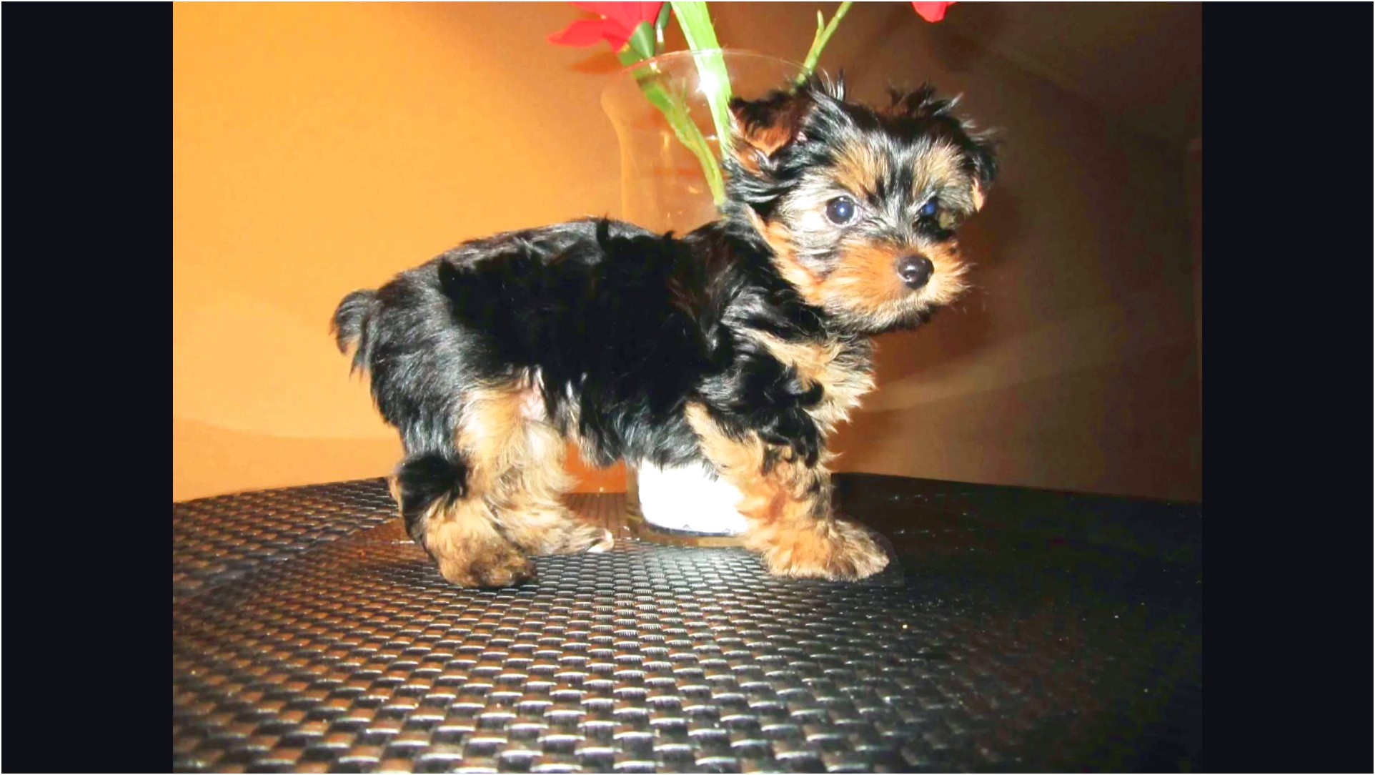 yorkshire terrier puppy los angeles