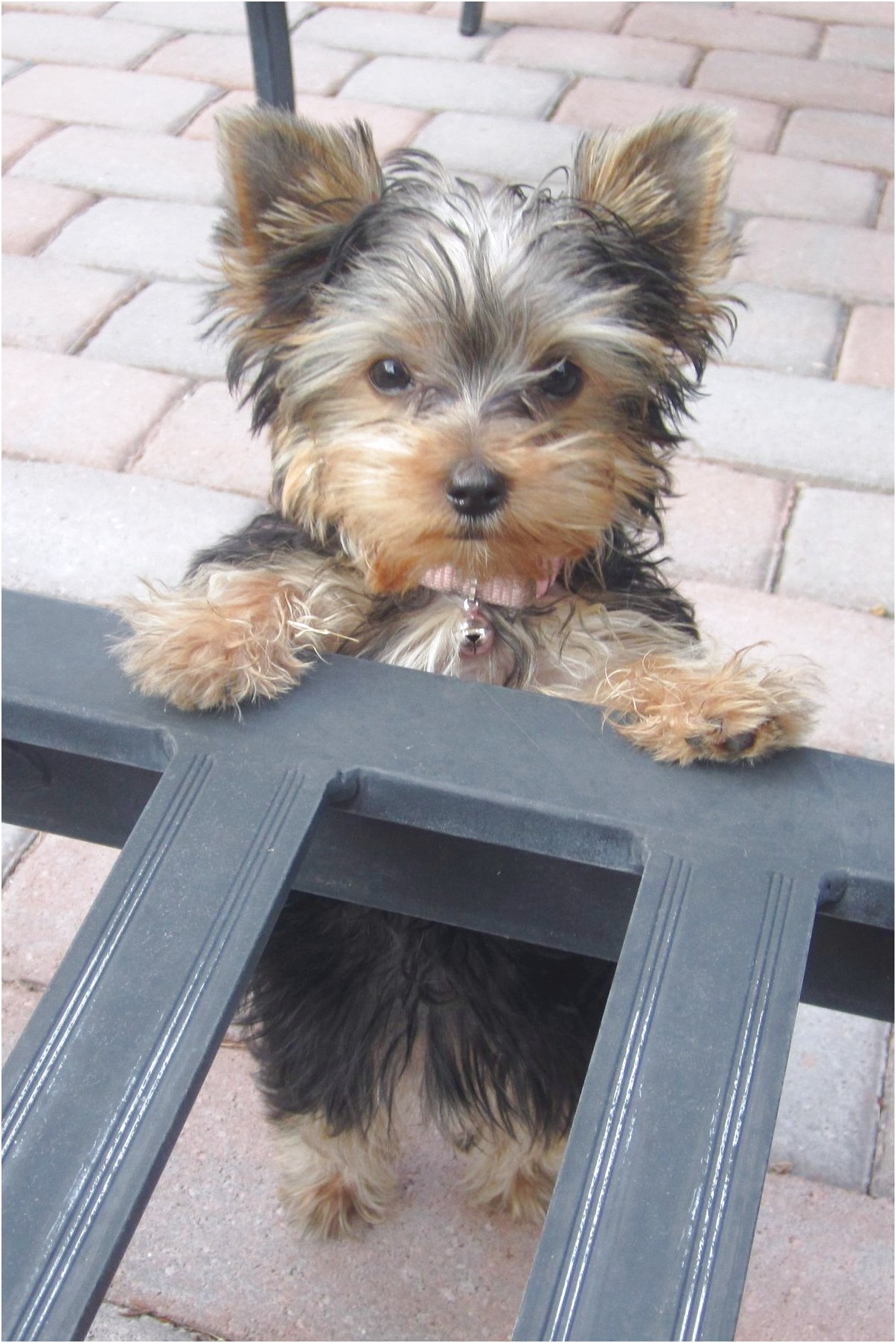 yorkshire terrier puppy names female