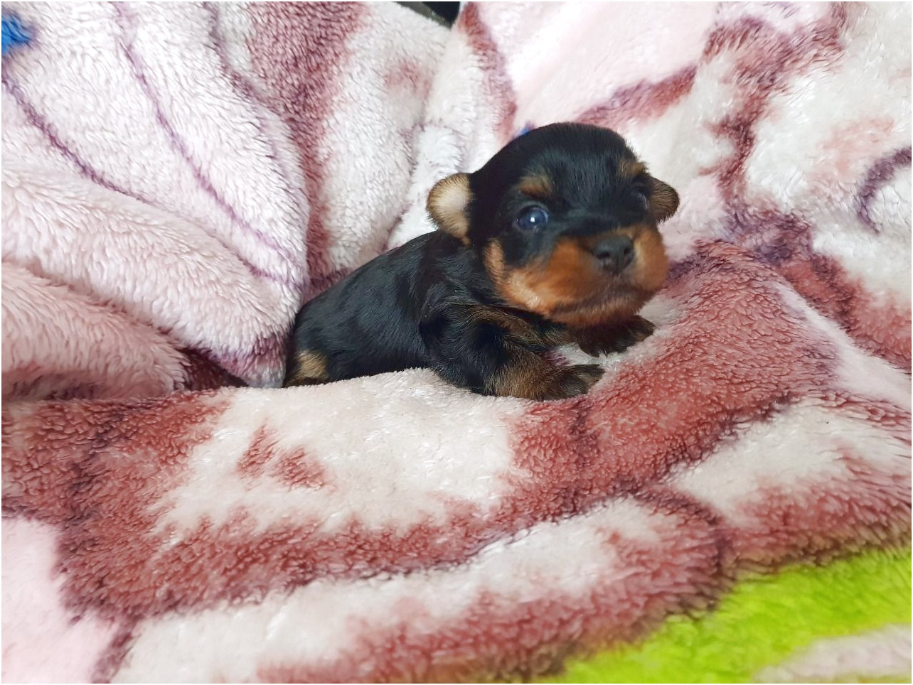 yorkshire terrier puppy newcastle