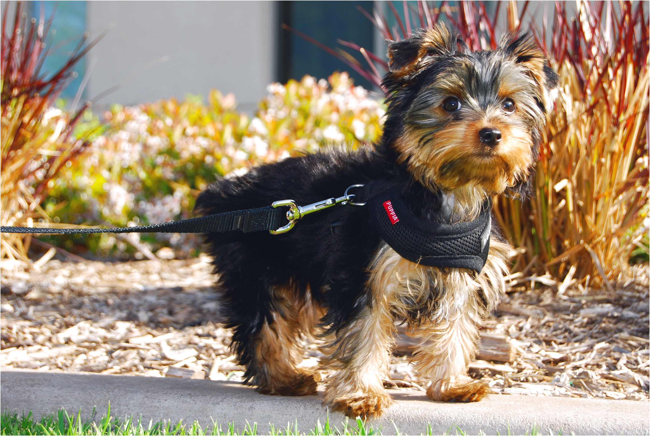 yorkshire terrier puppy nz