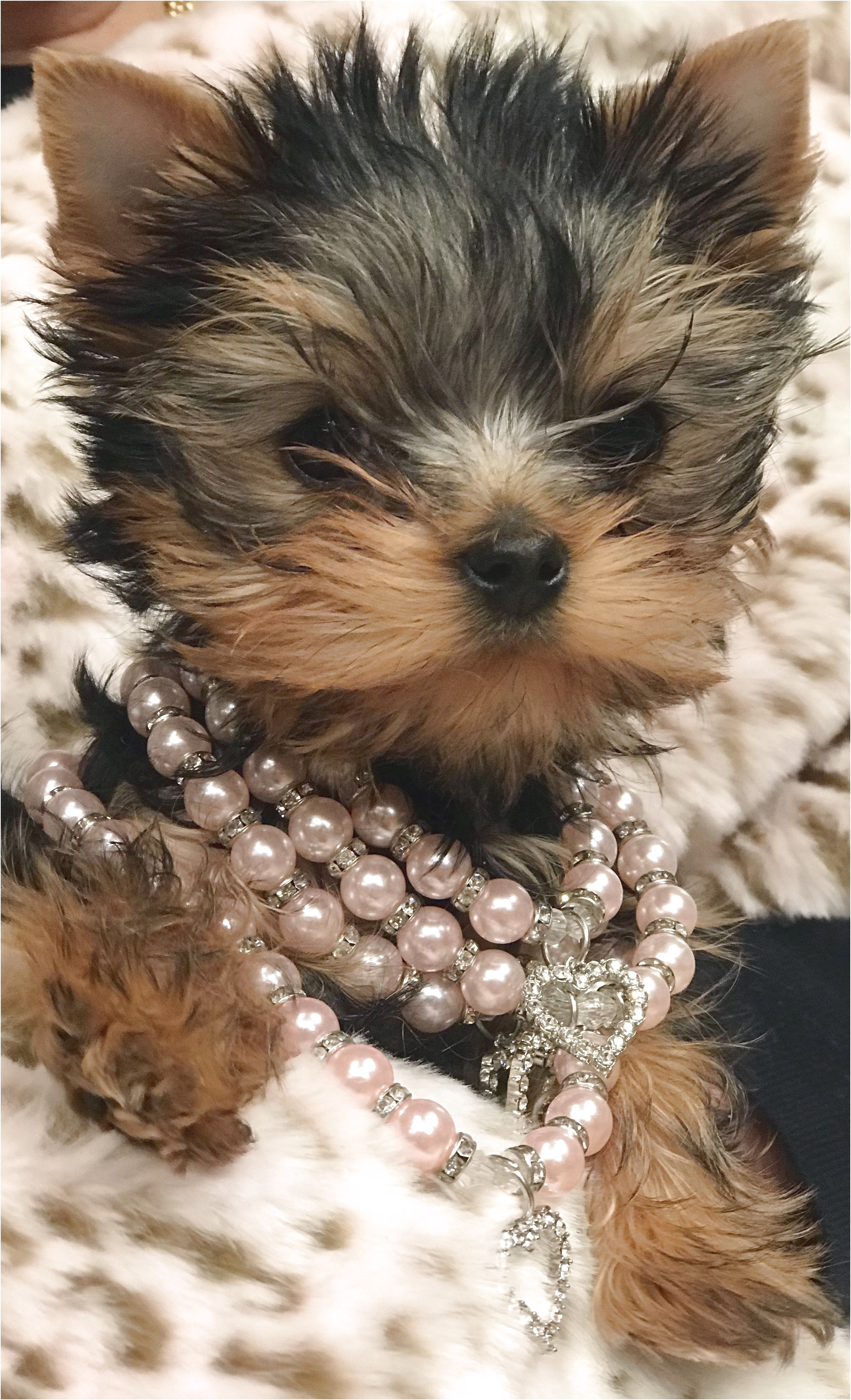 yorkshire terrier puppy personality