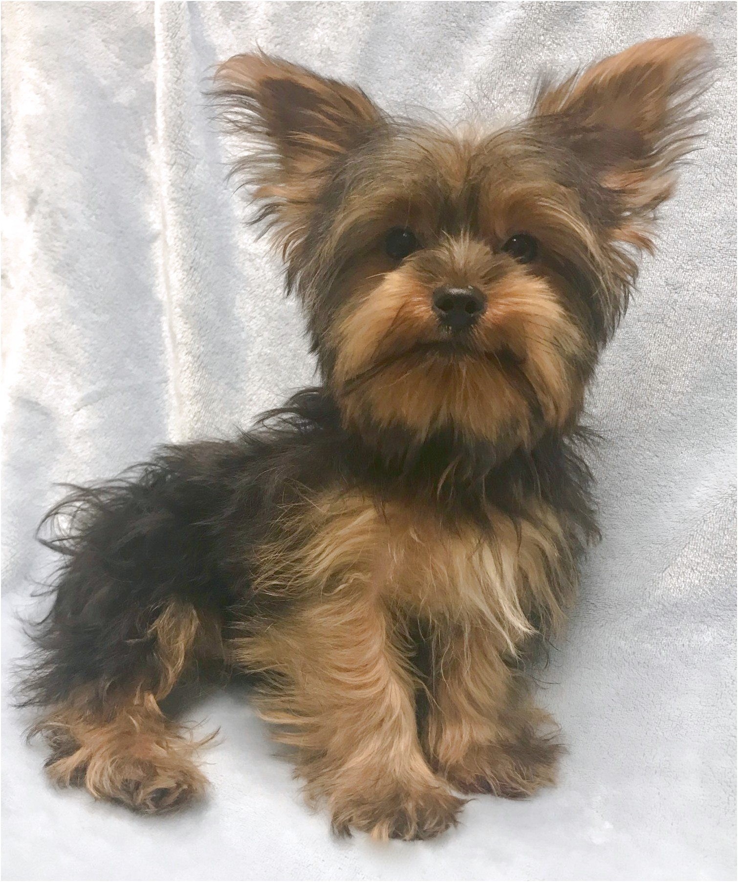 yorkshire terrier puppy pics