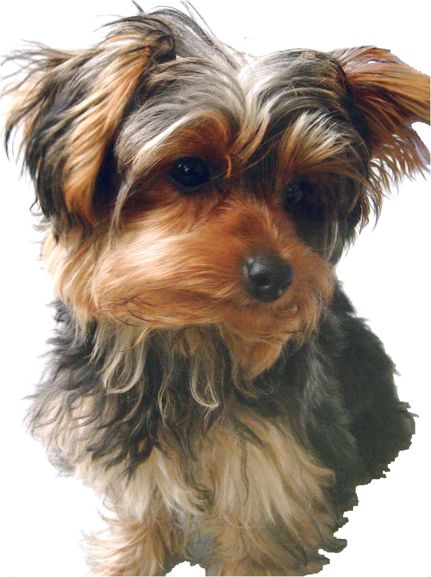 yorkshire terrier puppy rescue uk