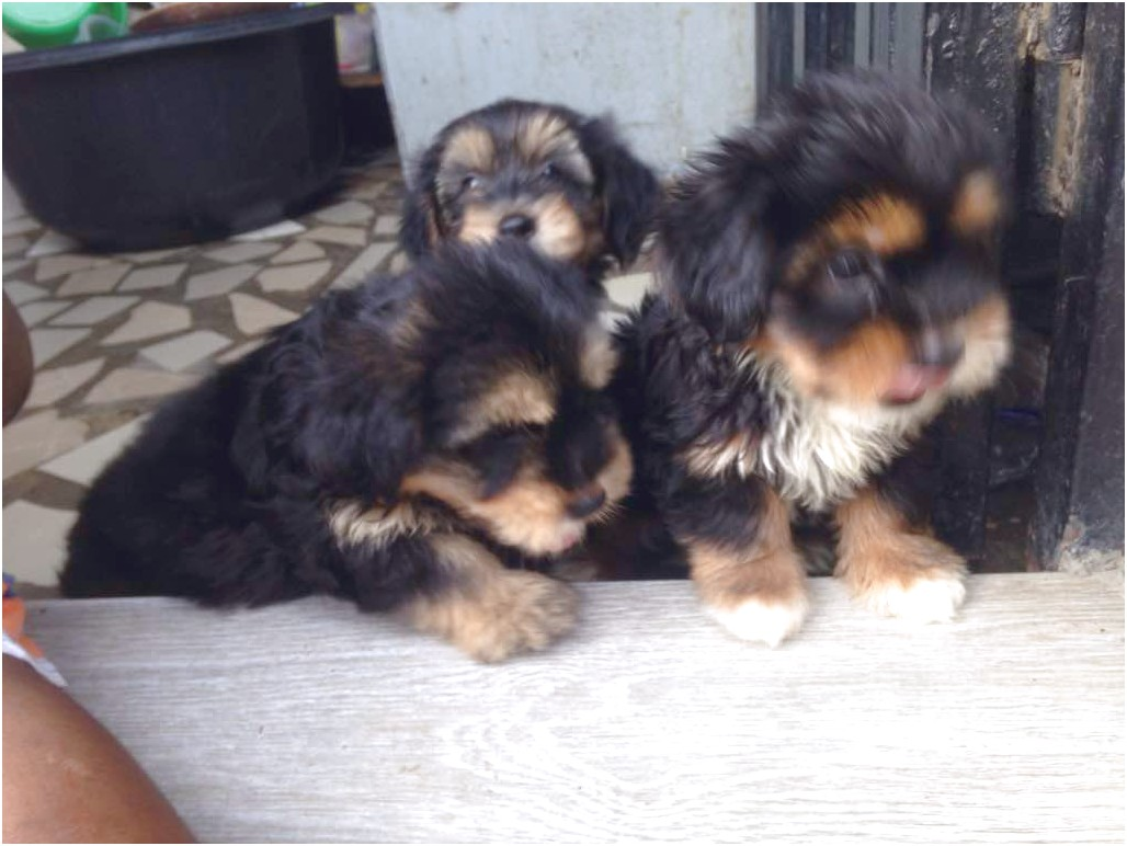 yorkshire terrier puppy sale