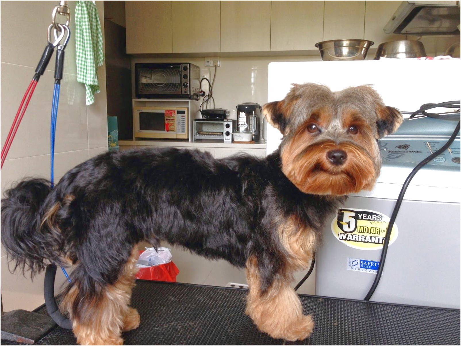 yorkshire terrier puppy singapore