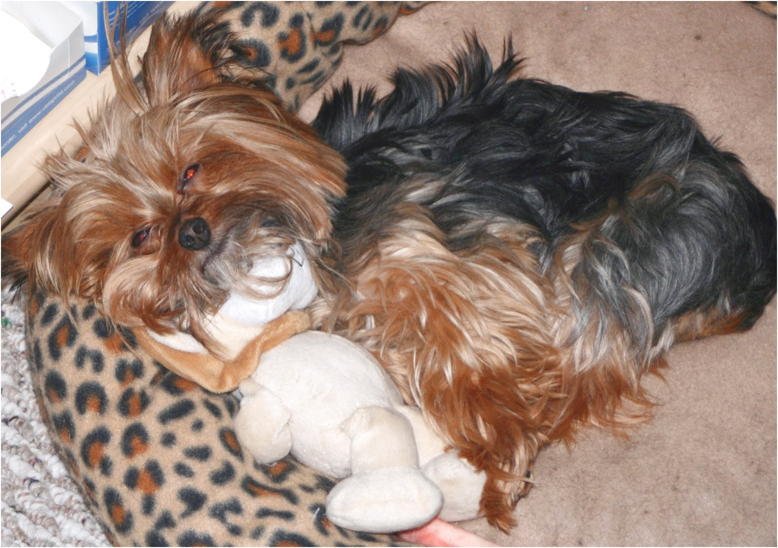 yorkshire terrier puppy sleeping habits
