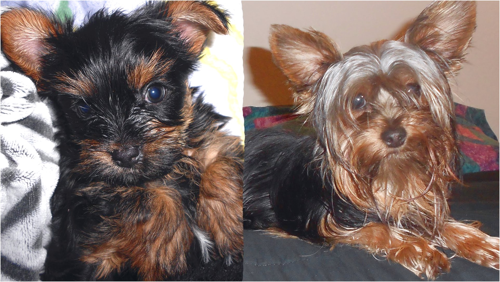 yorkshire terrier puppy stages
