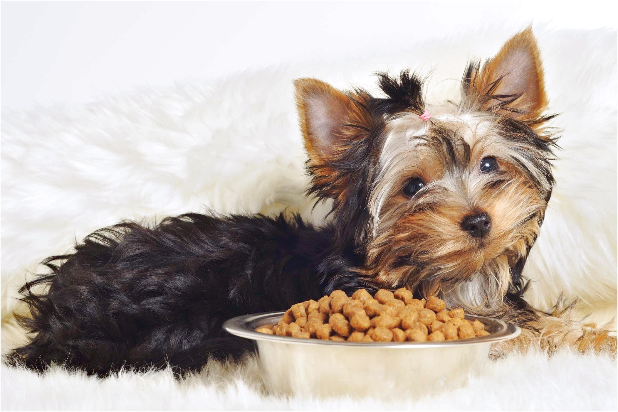 yorkshire terrier puppy throwing up
