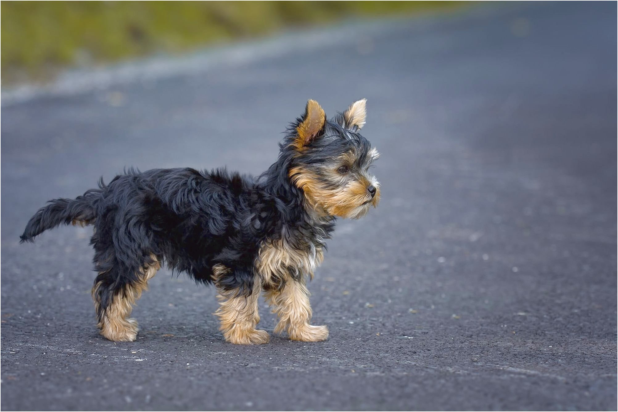 yorkshire terrier puppy uk
