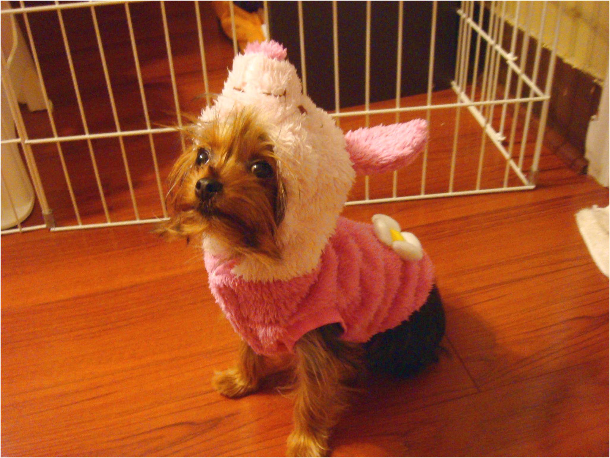 yorkshire terrier puppy vancouver
