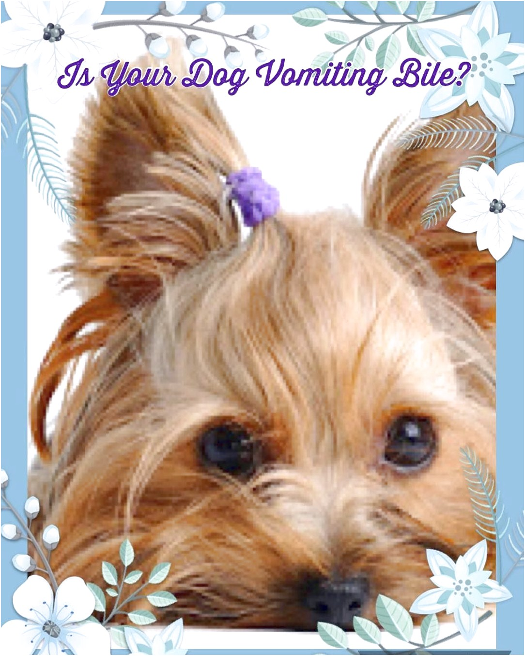 yorkshire terrier puppy vomiting