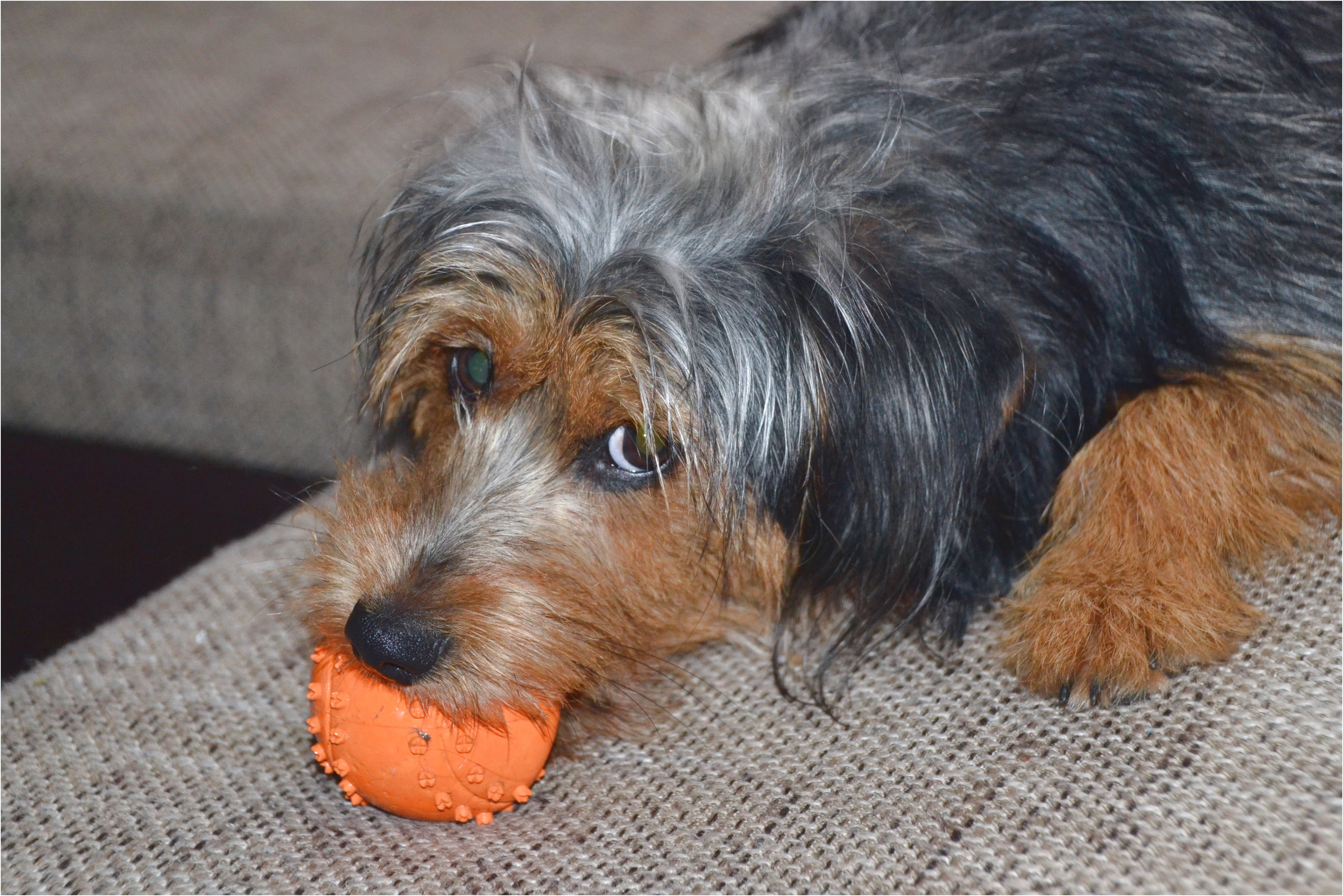 yorkshire terrier puppy wales