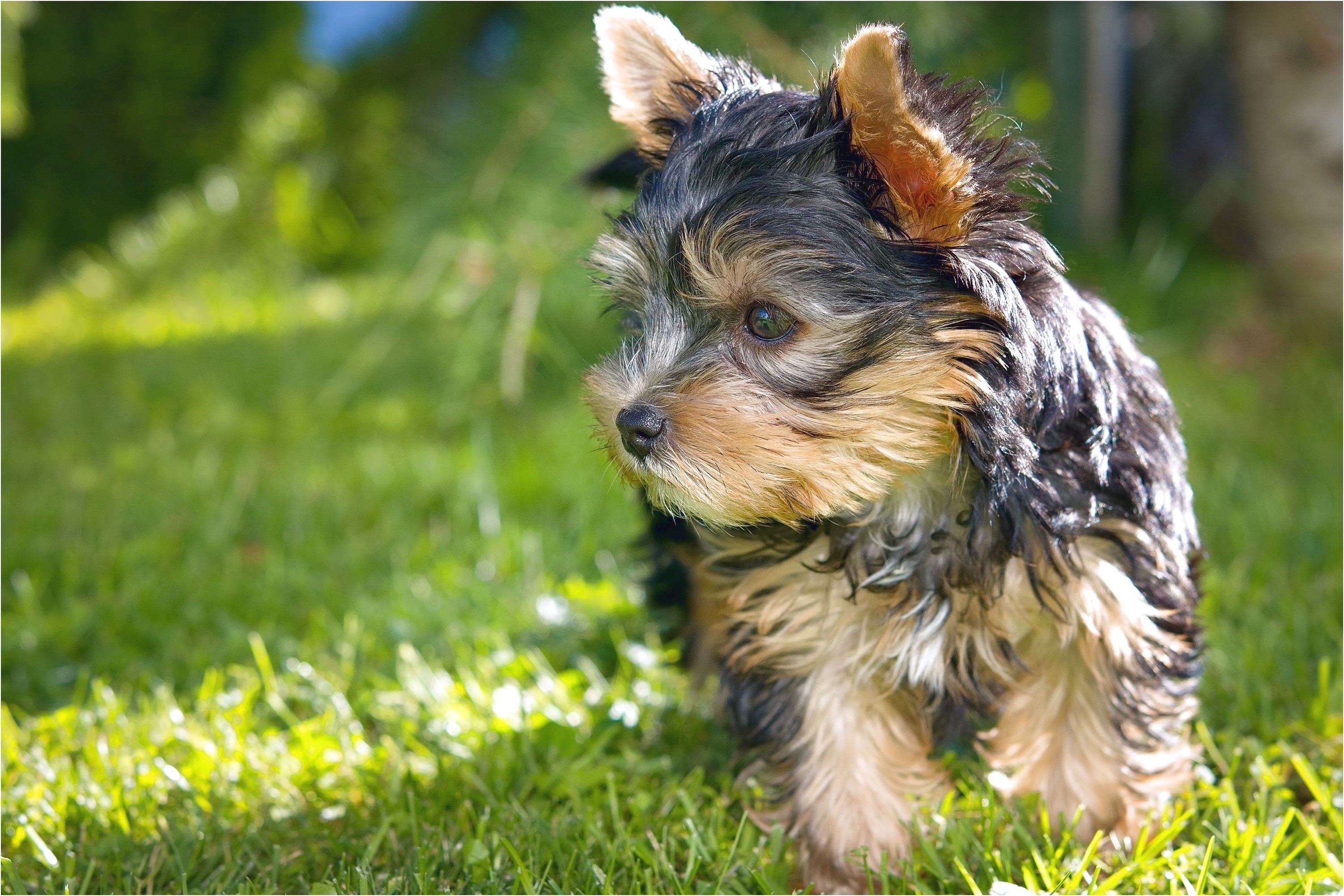 yorkshire terrier puppy wont eat