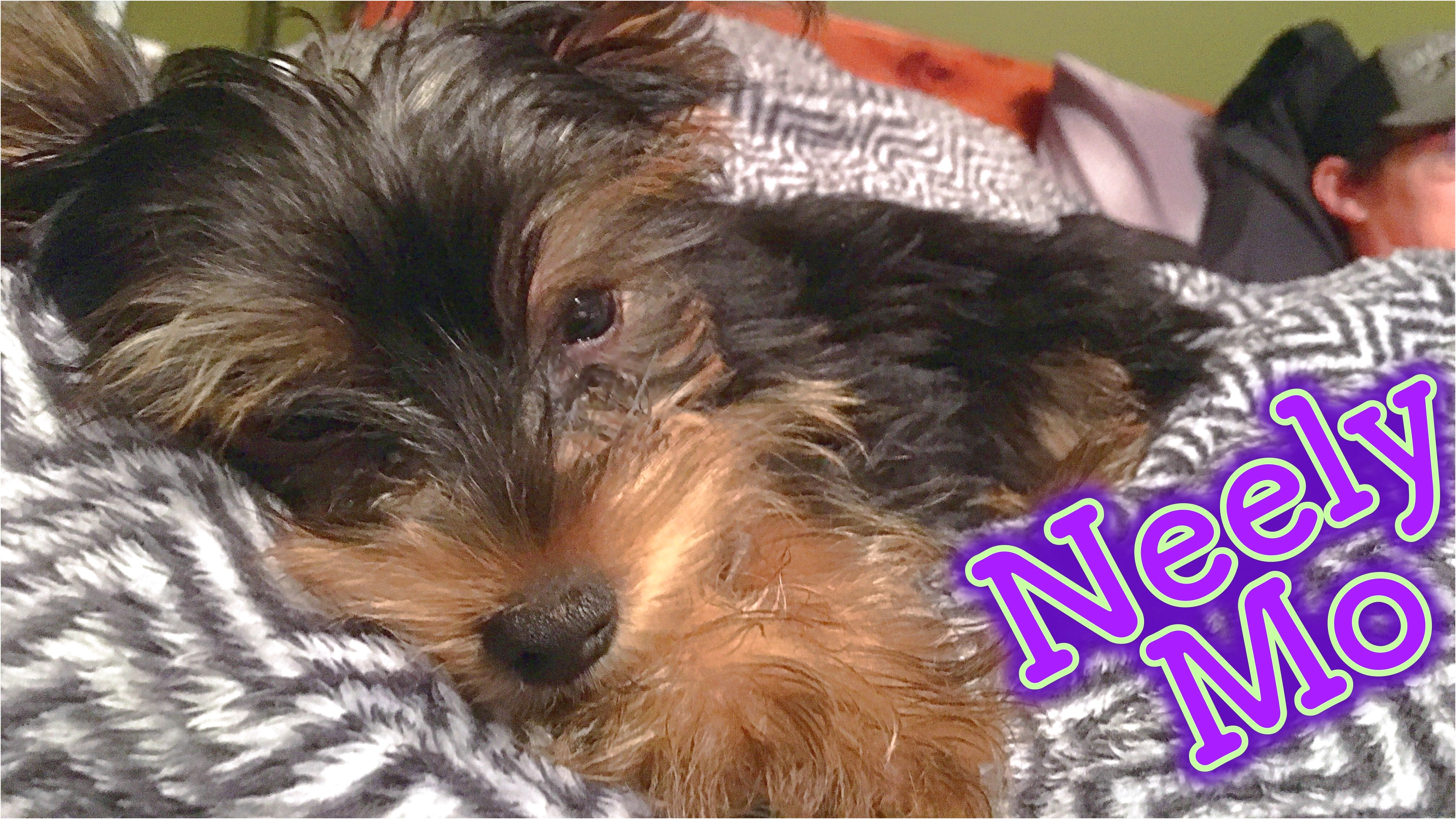 yorkshire terrier puppy youtube