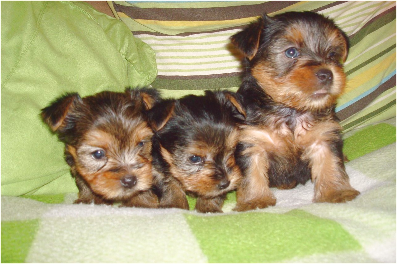 yorkshire terrier puppys for sale in kent