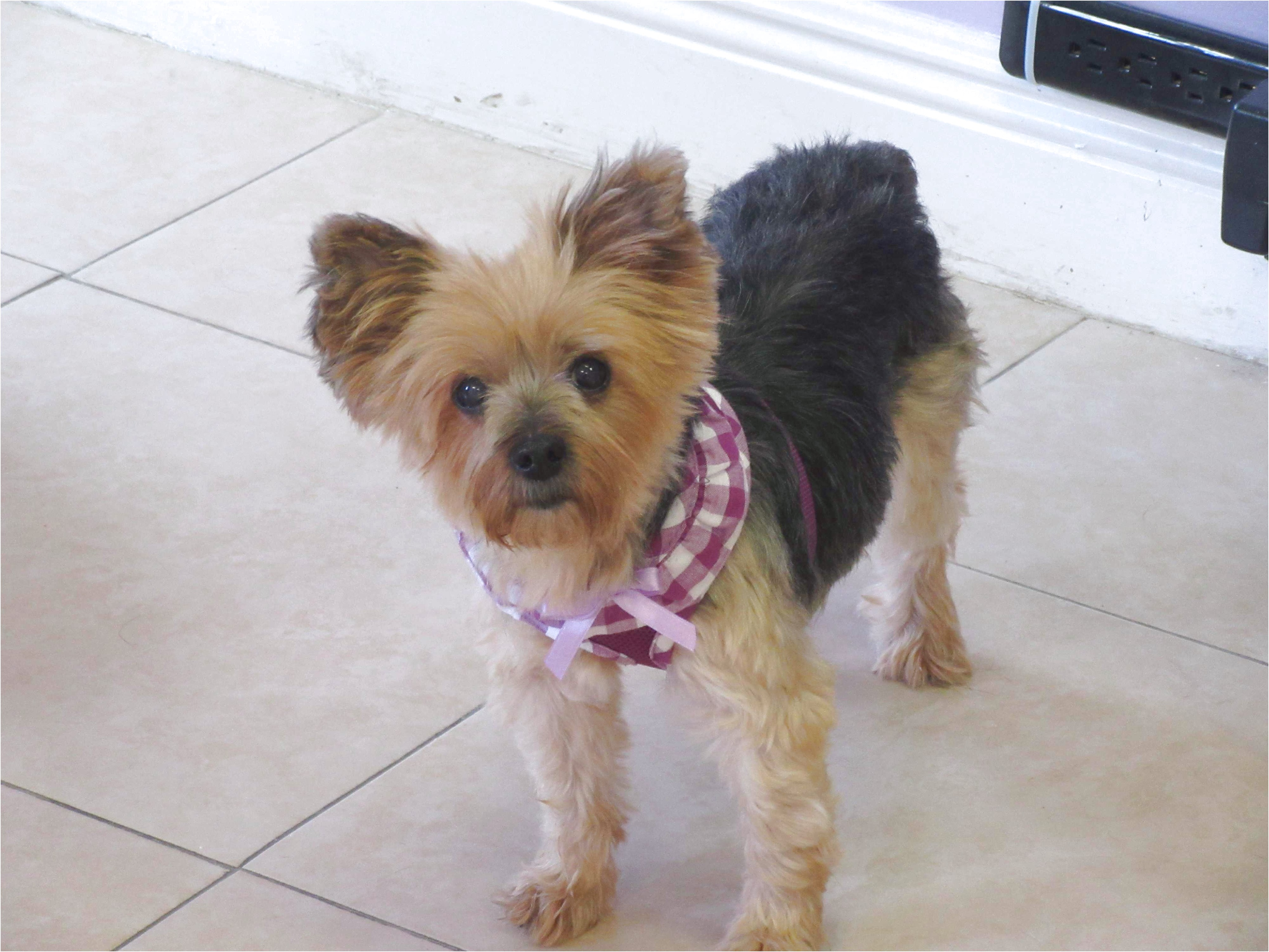 yorkshire terrier puppys for sale near me