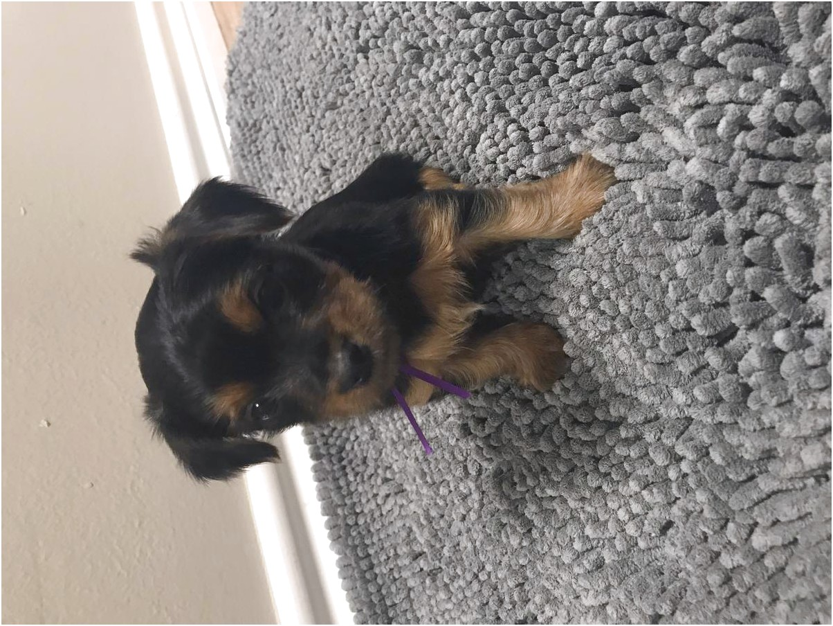yorkshire terrier puppys for sale