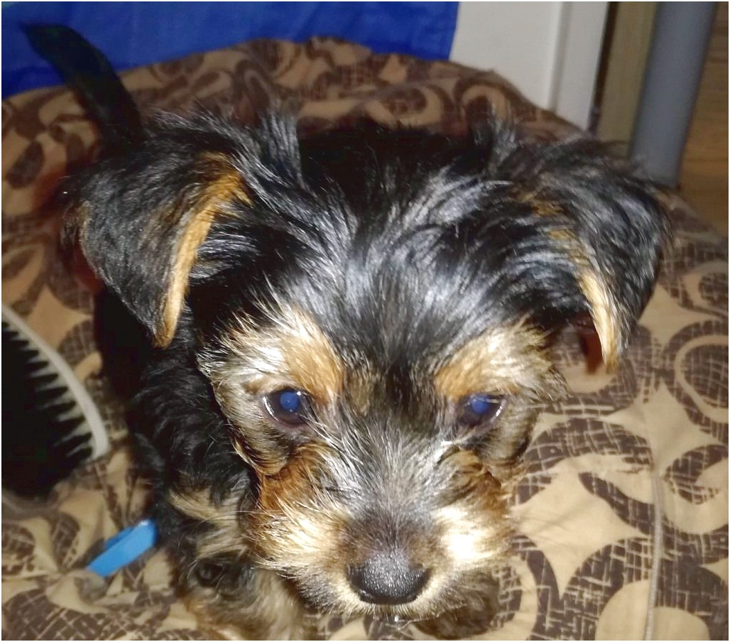 yorkshire terrier pups cardiff