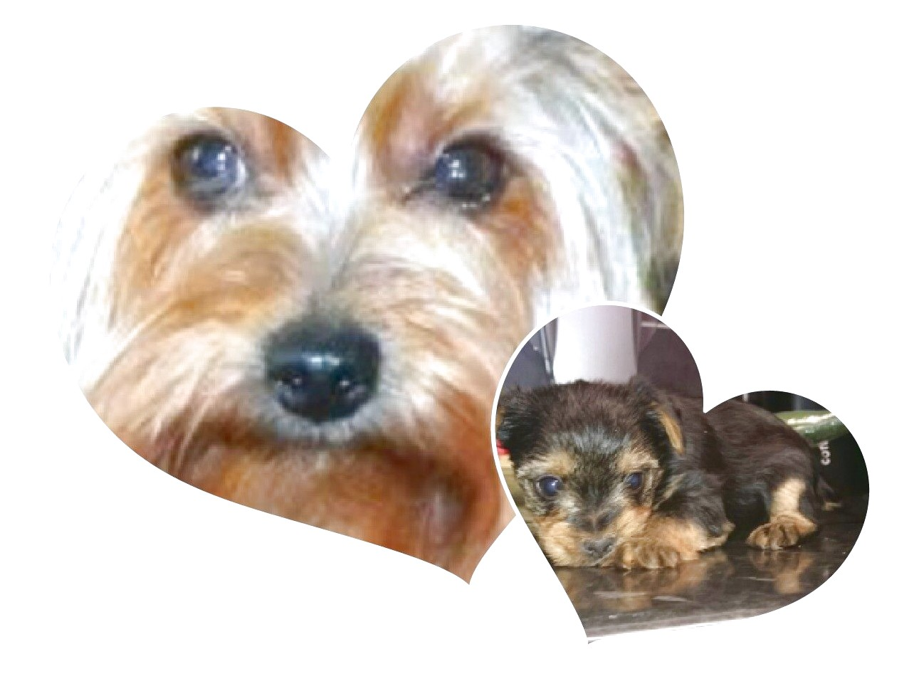 yorkshire terrier pups cheshire