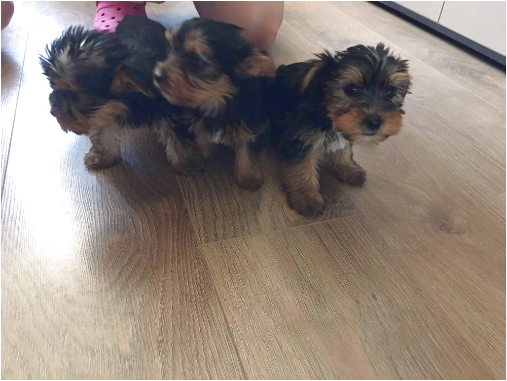 yorkshire terrier pups essex