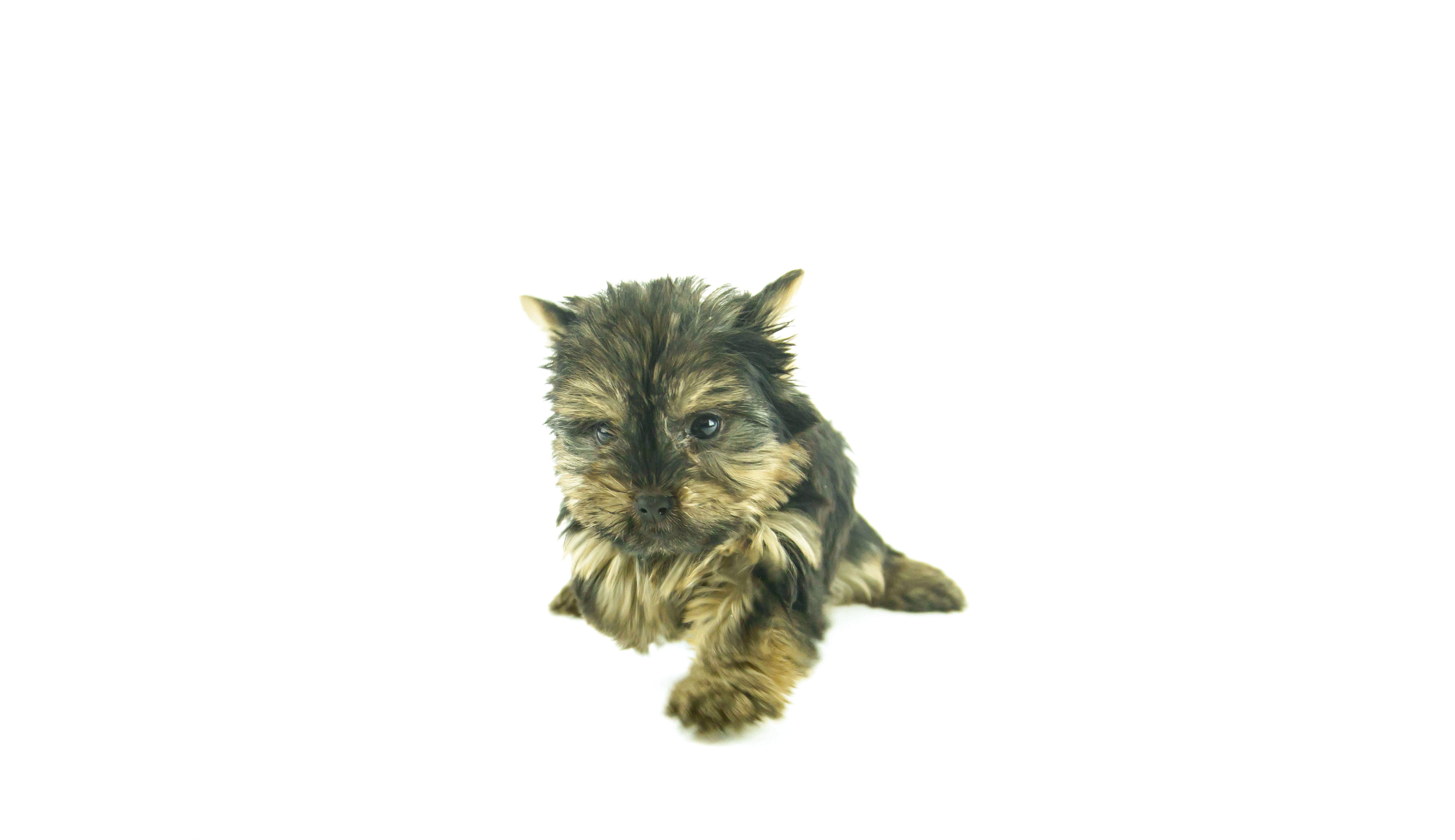 yorkshire terrier pups for sale adelaide