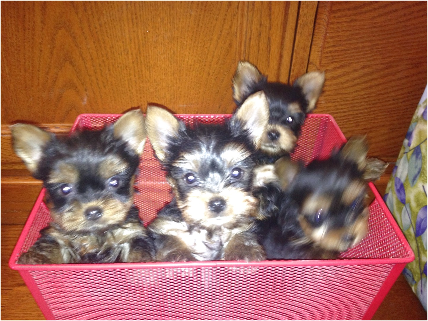 yorkshire terrier pups for sale ayrshire