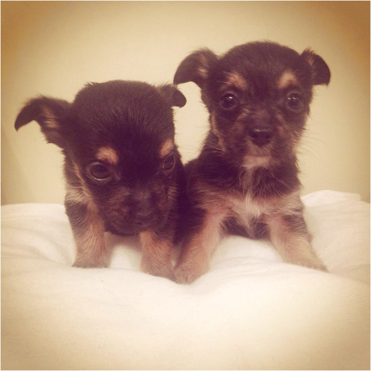 yorkshire terrier pups for sale barnsley