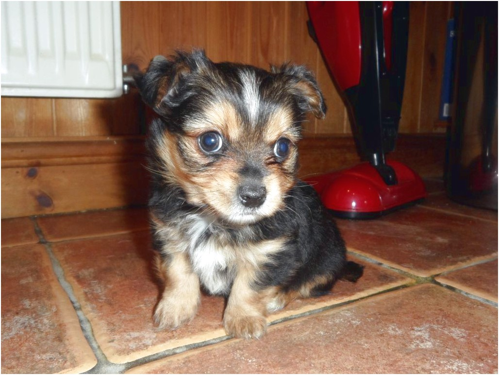 yorkshire terrier pups for sale blackpool
