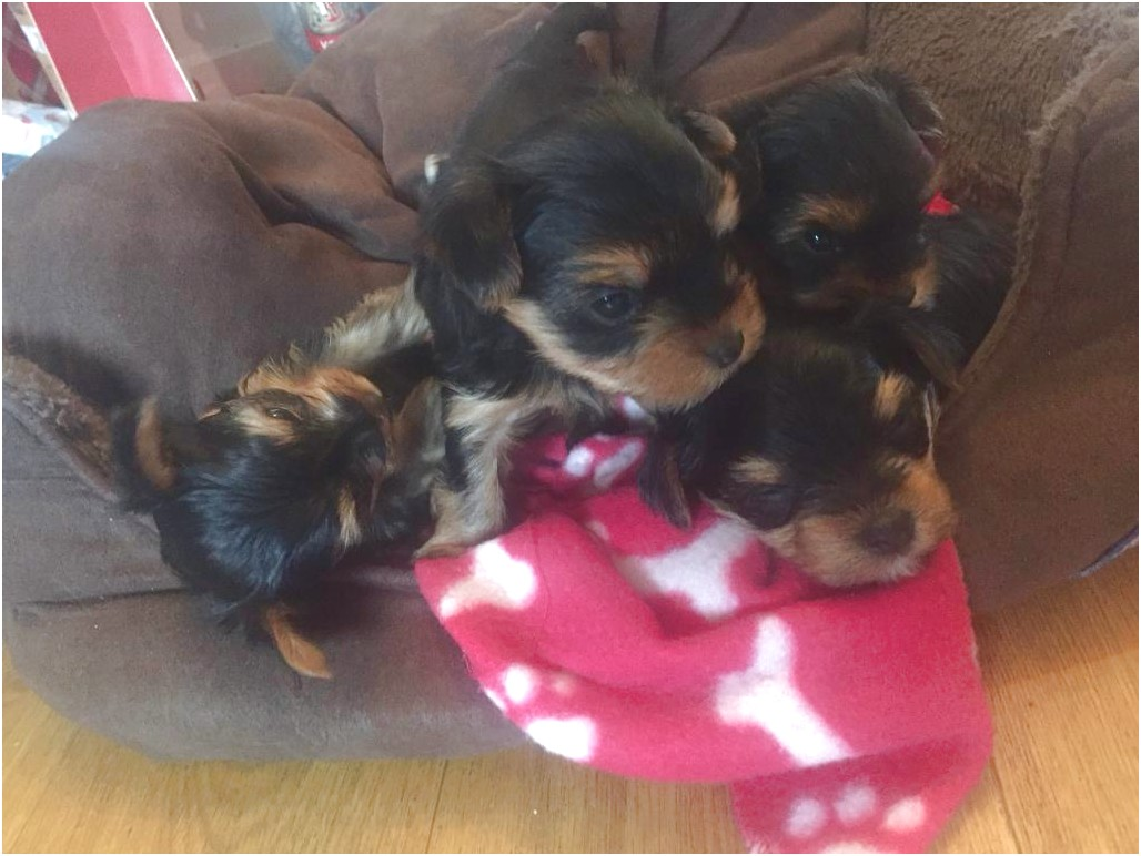 yorkshire terrier pups for sale bristol