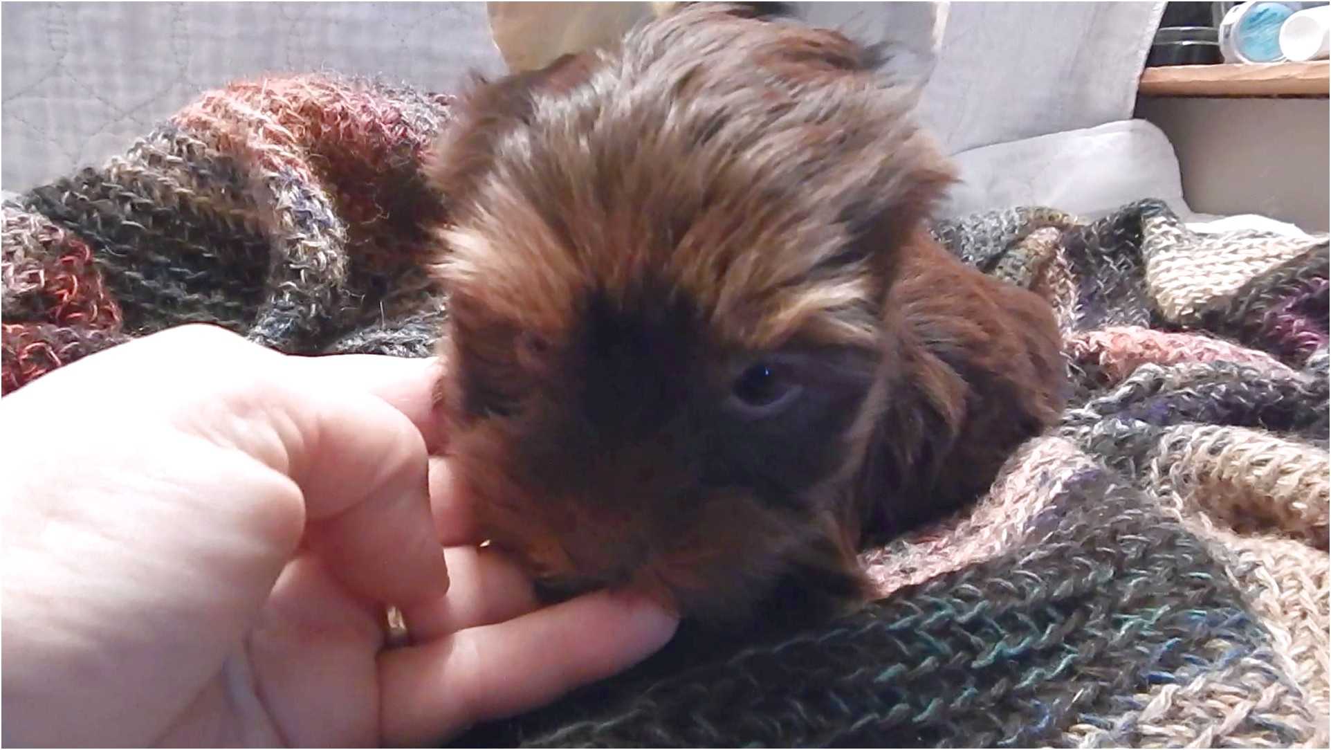 yorkshire terrier pups for sale cheshire area