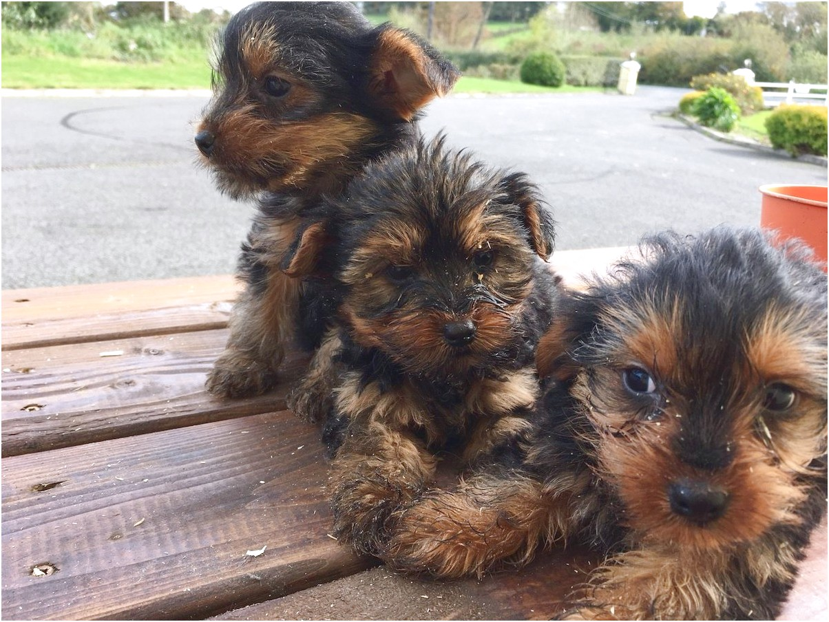 yorkshire terrier pups for sale cork